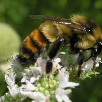 A rare close up of the Apis (honey bee) sub species